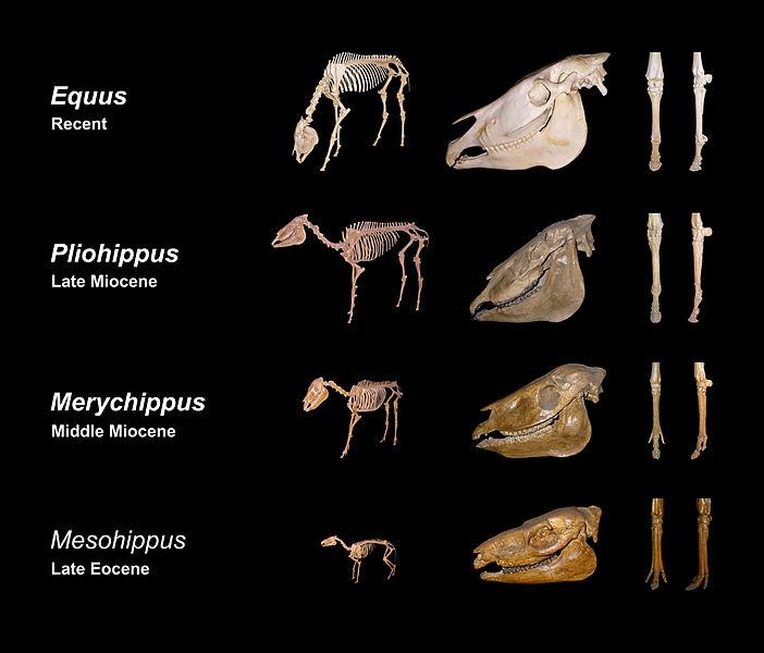 horses-evolution